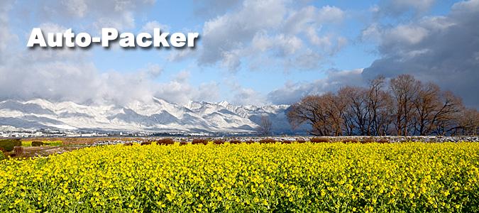 琵琶湖・守山に咲く冬の菜の花 「寒咲菜花」