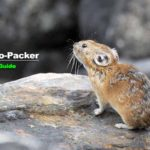 十勝岳望岳台のナキウサギ観察ポイント