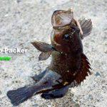 知床半島の波止から、夏によく釣れる魚はガヤ(エゾメバル)