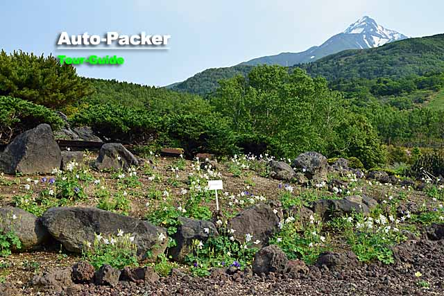 6月に行きたい!利尻島の穴場観光スポット 高山植物展示園