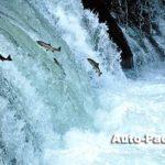 清里にある「さくらの滝」では、サクラマスの豪快な滝登りが見られる。