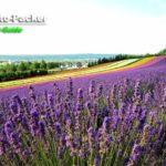 ラベンダーが最盛期を迎えた、富良野にあるファーム富田の「彩りの畑」。