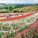8月初旬に美しさのピークを迎える、展望花園「色彩の丘」。