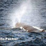シャチと入れ替わりで7月に姿を見せるようになるマッコウクジラ。