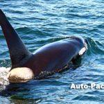 5~6月に知床・羅臼の海に姿を現すシャチ。この個体はオスだ。