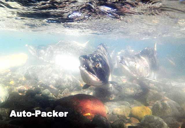 カラフトマスの遡上を水中カメラで激写。手の感覚がなくなるほど水は冷たい。