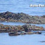 岩礁に寝そべる野生のアザラシが見られるのは、礼文島のスコトン岬。