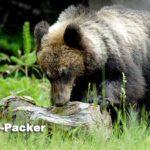 知床で初めて出会ったヒグマは、アリの巣を食べるのに夢中だった。