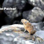 十勝岳の登山口にある、望岳台の溶岩地帯で見つけたナキウサギ。