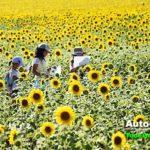 北竜町にある「ひまわりの里」。子どもたちが夏休みの宿題をする姿が微笑ましい。