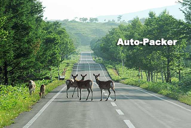 早朝はこのようにエゾジカが車道にいる場合があるのでスピードは控えめに。