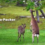 早朝の羅臼温泉野営場に現れたエゾジカの親子。木の枝の葉を食べるのは珍しい。