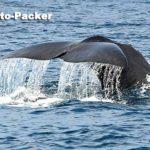 豪快なマッコウクジラのダイブシーン。