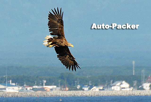 オジロワシのフライトシーン。飛ぶとその名の由来がよく分かる。