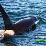 クジラよりもエキサイティング! 知床羅臼のオルカ・ウォッチング