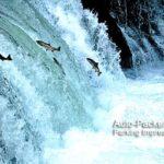 世界でも希少なサクラマスの滝登りが見られる、清里町の「さくらの滝」