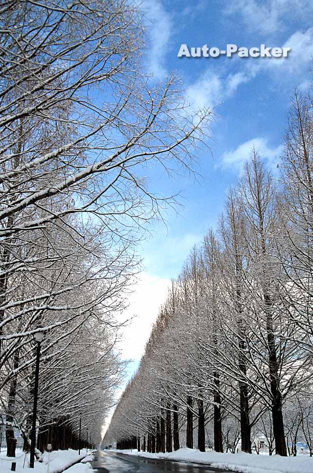 マキノ メタセコイア並木 雪