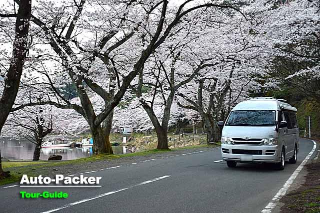 海津大崎 桜のトンネル