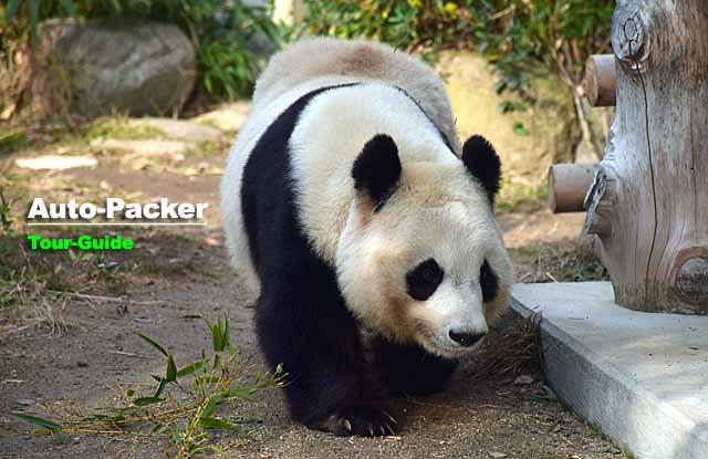 王子動物園 ジャイアントパンダ